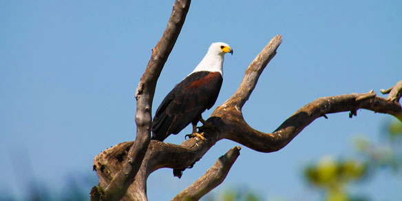 African Fish Eagle, Lake Chamo, Ethiopia