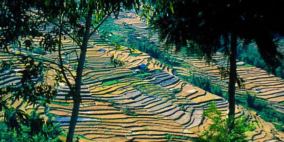 Terraced Rice Paddy Farms, Khonoma, Nagaland, India