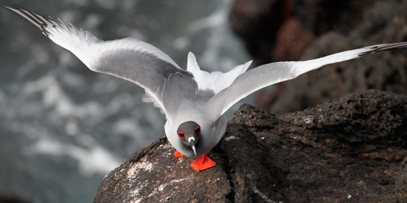 Swallow-tailed Gull, Galapagos Islands, Pacific, Ecuador, South America