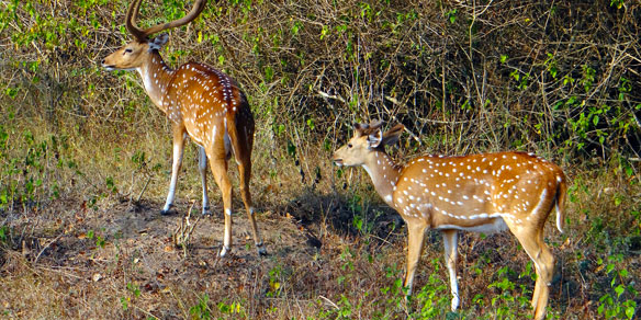 Spotted Deer (Chital), India