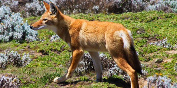 Ethiopian Wolf, Simien Mountains National Park, Ethiopia