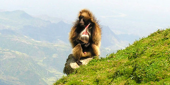 Gelada Monkey, Simien Mountains National Park, Ethiopia