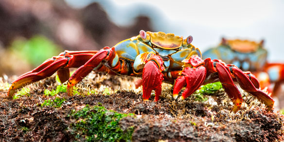Red Sally Lightfoot Crab, Galapagos Islands, Pacific, Ecuador, South America