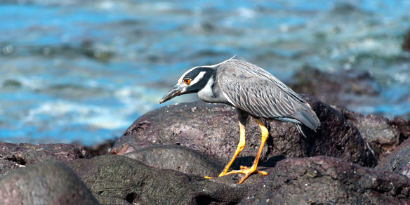 Yellow-Crowned Night Heron, Galapagos Islands, Pacific, Ecuador, South America