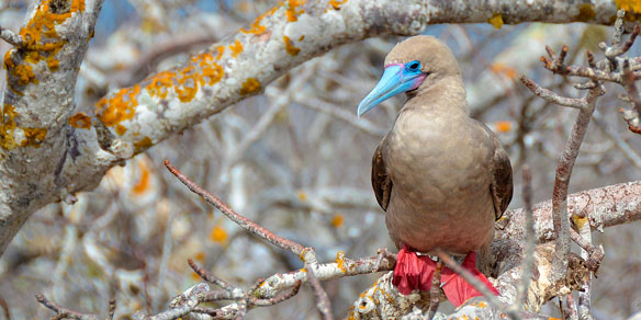Red-footed Boobie, Galapagos Islands, Pacific, Ecuador, South America