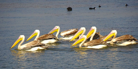 Great White Pelican, India
