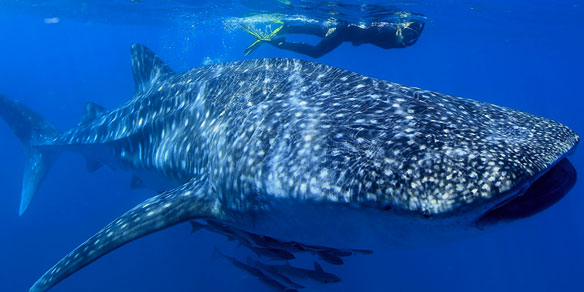 Whale Shark, Bay of Ghoubbet, Djibouti