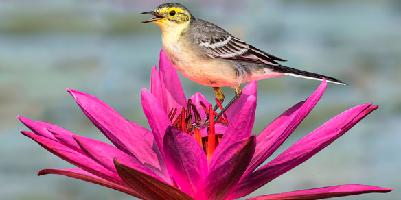Citrine Wagtail on Water Lilly flower, Jaldapara National Park, India