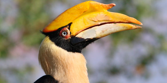 Female Great Indian hornbill, (Buceros bicornis), also known as Asian Pied Hornbill, Jaldapara National Park, India