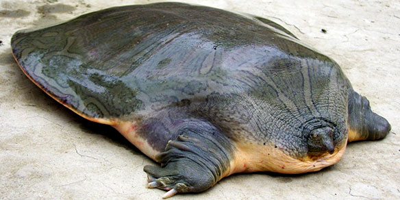 Indian narrow headed soft-shell turtle (Chitra indica), India