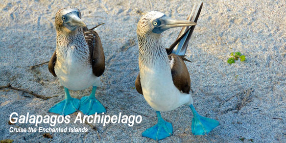 Two Blue Footed Boobies, Galapagos Islands, Ecuador
